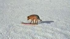 Pies, który jeździł na nartach