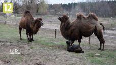 Jak wyglądał poród małego wielbłąda w poznańskim zoo?