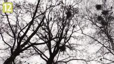 Krosno: Walka z gawronami jak z wiatrakami [WIDEO]