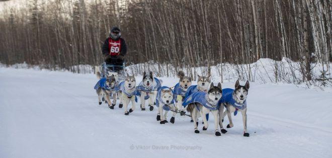 Zdjęcie z artykułu: Ultramaratończyk z Łodzi Michał Kiełbasiński pokonał 1600 km trasą wyścigu psich zaprzegów Yukon Quest