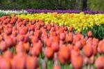tulipany w botaniku w Łodzi