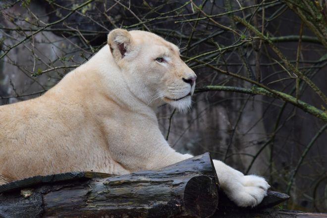 Zdjęcie z artykułu: Dramat w zoo w Borysewie. Lwica urodziła na wybiegu, inne lwy na oczach zwiedzających porwały maleństwa. Uratowano jedno