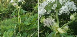 Na łódzkim Widzewie znaleziono skupisko roślin równie toksycznych jak barszcz Sosnowskiego! To jedne z najbardziej niebezpiecznych roślin w Polsce