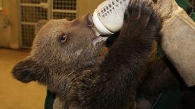 Minął rok, odkąd w poznańskim zoo zamieszkała niedźwiedzica Cisna [ZDJĘCIA + WIDEO]