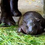 Taki maluch to prawdziwa rzadkość! Hipopotam karłowaty urodził się we wrocławskim zoo. Wybierz dla niego imię! [WIDEO, ZDJĘCIA, AUDIO]