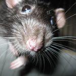 To już prawdziwa plaga szczurów w Krakowie. Jest ich coraz więcej! [AUDIO]