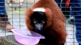 Poznańskie lemury miały roczek – zobaczcie, jak świętowały [WIDEO]