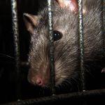 Plaga szczurów w Bydgoszczy! Opanowały centrum miasta!