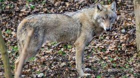 Otwierają azyl dla wilków w poznańskim zoo