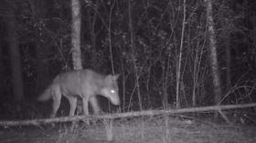 Tuż pod Warszawą żyje rodzina wilków. ZOBACZ nagranie z drapieżnikami [WIDEO]