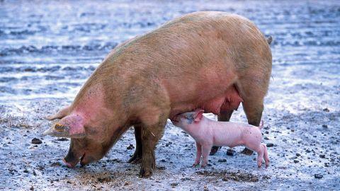 Afrykański pomór świń zbiera żniwo. Czy jest groźny dla ludzi?
