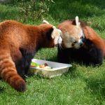Co za słodziaki! Aki, Toshi i Nori wyrosły na gwiazdy poznańskiego zoo! [ZDJĘCIA]
